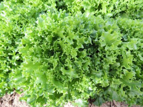 Tango Lettuce Seeds Frilliest Loose Leaf adds loft /& texture Heirloom 40 days!