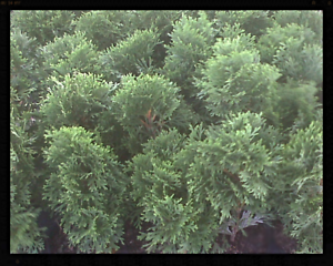 Arborvitae-Thuja-Emerald-Green-4-inch-pot