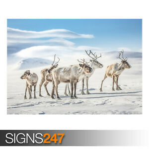 REINDEERS-AE911-Photo-Picture-Poster-Print-Art-A0-A1-A2-A3-A4