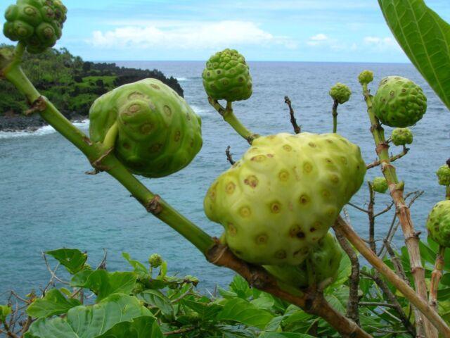Great Morinda - MORINDA CITRIFOLIA - 12 Seeds - Vegetables/ Fruits