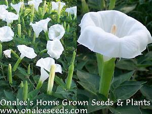 24 White Devilsangel Trumpet Moonflower Seeds Datura Ebay