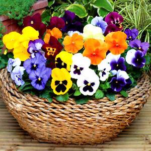 Flor-floracion-invernal-pensamiento-450-semillas-viola-wittrockiana-por-calentamiento