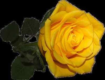 50 Gelbe Rosensamen, Nr 43 Modische Muster