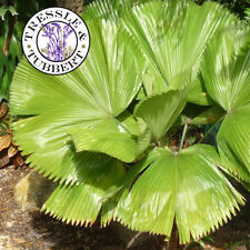 Rare Vanuatu Fan Palm Tree - LICUALA GRANDIS - 4 Seeds - UK SELLER