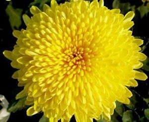 Chrysanthemum 100 Seeds Yellow Morifolium Flowers Plant Garden Big Blooms Potted Ebay