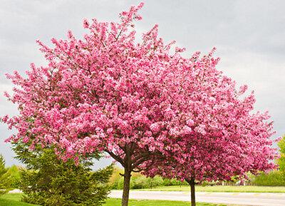30 Samen Kanadischer / Amerikanischer Judasbaum (Cercis canadensis), Blütenmeer