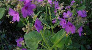 Mirabilis viscosa Exotic Dreams Four Oclock 10 seeds