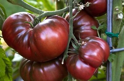 Tomato SANKA Seeds red tomatoes seeds non-GMO Ukraine 1g farmer/'s dream garden