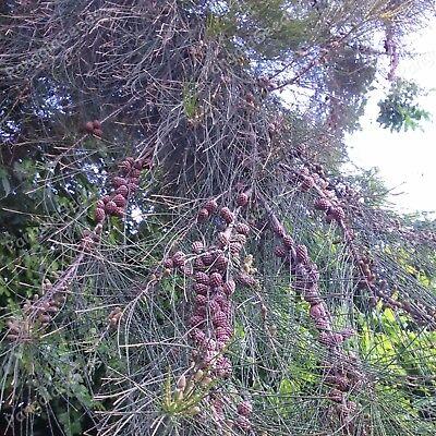 100Seed Casuarina equisetifolia Bonsai Horsetail SheOak