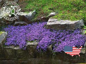 100 Creeping Thyme Groundcover Seeds Perennial Flower Lavendar