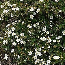 Hæk planter, Potentilla fruticosa