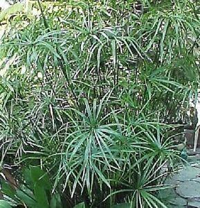 papyrus-Cyperus-alternifolius-35cm-plante-bassin-appartement