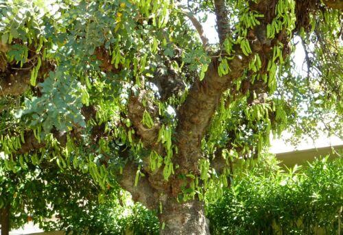 Ceratonia siliqua 15 seeds Chocolate Tree