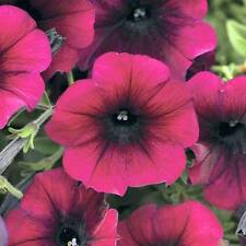 ~  Easy Wave BURGUNDY VELOUR  *  Trailing Petunia *  20 Pelleted Seeds