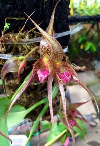 Bulbophyllum hampeleae