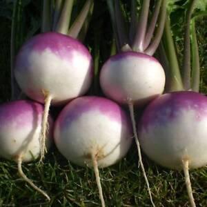 20pcs-vegetable-Seeds-Turnip-Purple-Top-White-Globe