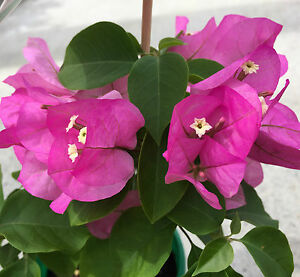 Texas dawn bougainvillea purple pink flowers climbing plant in 140mm image is loading texas dawn bougainvillea purple pink flowers climbing plant mightylinksfo