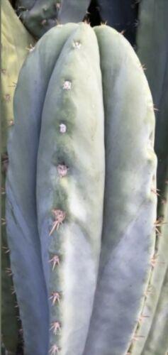 SUPER P.. x CHRISTIES PERUVIAN........100 SEEDS Echinopsis  T