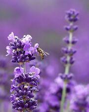 1200 Graines de Lavande Bleue Naine / Fleur Vivace