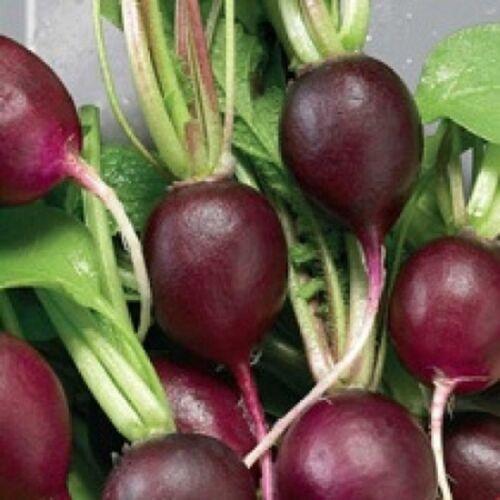Vegetale RAVANELLO MALAGA VIOLA 13 grammo ~ circa 1105 Semi migliori