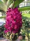 Rhynchostylis gigantea Red Orchid plant 1
