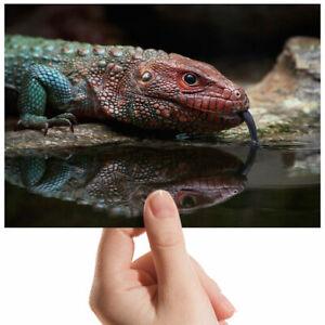 Northern-Caiman-Lizard-Small-Photograph-6-034-x-4-034-Art-Print-Photo-Gift-3520