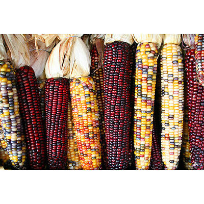 50 Graines de Maïs MULTICOLORE / Potager Légumes Plantes