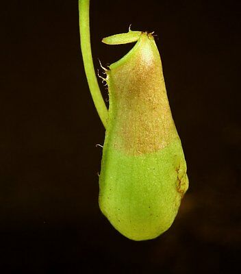 Sterile Tissue Culture Flask | Pitcher plants | Nepenthes insignis