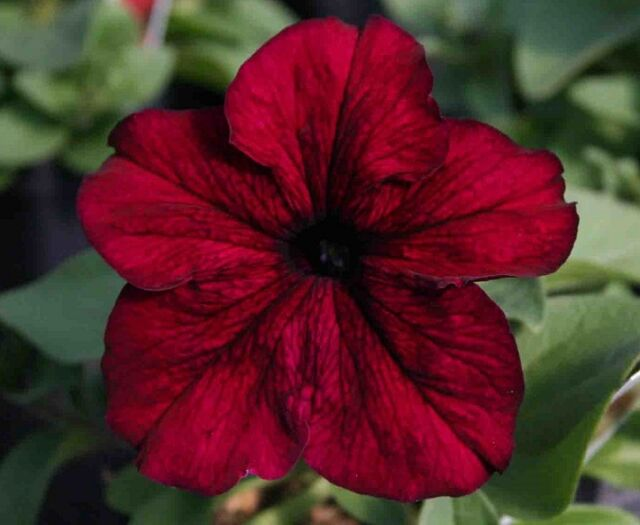 Petunia Express Burgundy - 50 Pelleted seeds - Annual