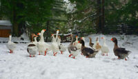 Embden, Chinese, Hybrid Geese for sale. Nanaimo British Columbia Preview
