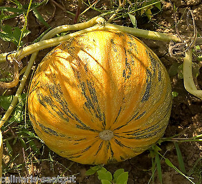 Kürbis Bio, Gleisdorfer Ölkürbis 10 Korn - zertifiziertes Biosaatgut