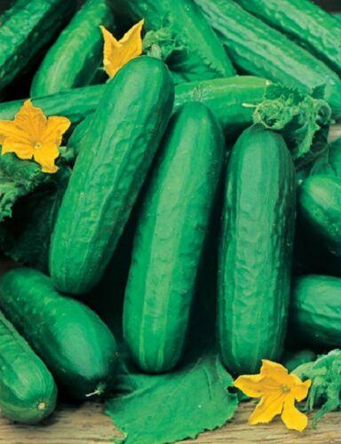 """/""""KINGS/"""" qualità Cetriolo ALFA esca 100 semi-vegetale da giardino 296"""
