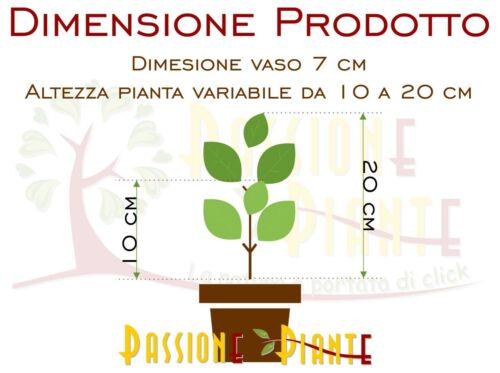 Pianta di Euonymus Livornese Euonimus Pianta da Siepe arredo giardino vaso 7