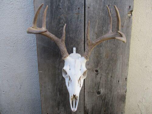 European Skull Mount Hangar Skull Hook
