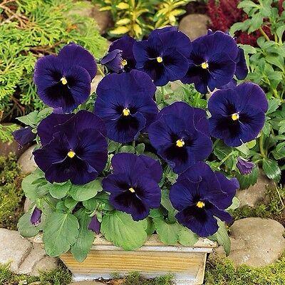 Viola Swiss Giant Ullswater 50 seeds