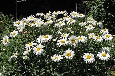 PERENNIAL FLOWER CHRYSANTHEMUM MAXIMUM SHASTA DAISY 750 FINEST SEEDS