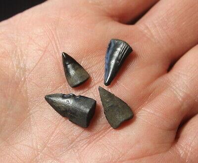 Fossil Barracuda teeth Eocene Florida tooth lot | eBay