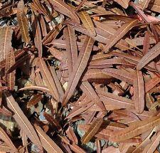 RUMEX FLEXUOSUS, MAORI DOCK, RUNA 20 seeds