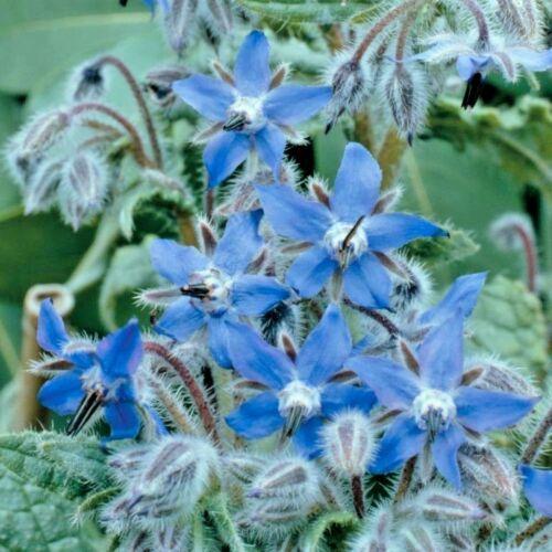 Kräuter Borretsch Zieht Bienen 600 Samen