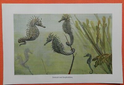 AnpassungsfäHig Seenadel Syngnathidae Seepferdchen Hippocampus Knochenfisch Farbdruck 1914
