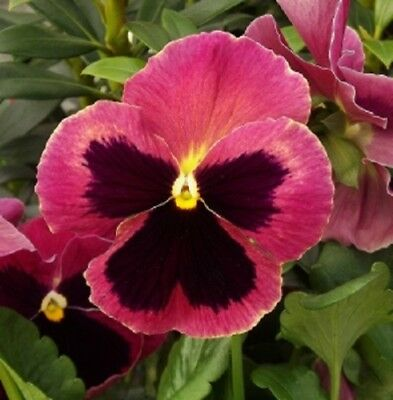 50 Pansy Seeds Delta Pre Deep Blue With Blotch