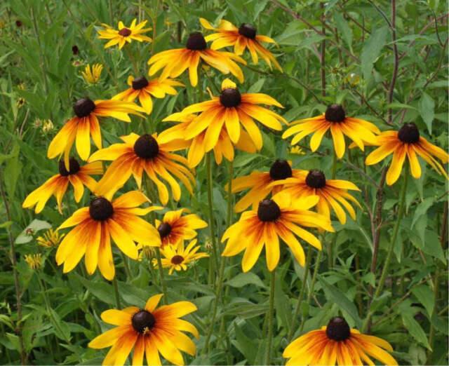 3000 GLORIOSA DAISY Indian Summer Rudbeckia Hirta Flower Seeds - COMB S/H