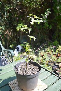 Noisette TREE (Corylus maxima)  </span>