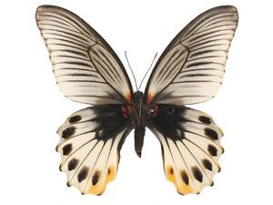 Papilio memnon christianae - Unmounted Pair