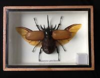 Giant real 5 horn Rhinocerus beetle display taxidermy insect entomology
