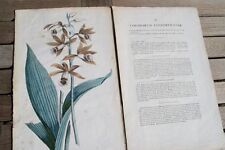 Phaius Limodorum tankervilliae H. schwegmann Orchidaceae pinchazo holzsch. orquídea