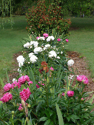 "Pink and White PEONY Mix ""Paeonia Lactiflora"" 5+ Perennial Seeds"