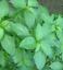 thumbnail 2 - 1,000+Pcs. Jute seeds,Saluyot,Koshta, Molokhia, Egyptian spinach seeds NON GMO