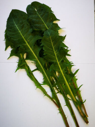 Löwenzahn Samen mit extra großen Blätter als Futter Pflanze für Tiere Blatt Hase