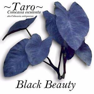 ~BLACK BEAUTY~ TARO Colocasia antiquorum Elephant Ear Live small potted Plant